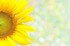 Sunflower. Closeup beautiful blossom sunflower isolated on bokeh background Stock Photos
