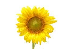 Sunflower. Closeup beautiful blossom sunflower isolated on white background Royalty Free Stock Image