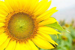 Sunflower. Closeup of beautiful blossom sunflower use for background Royalty Free Stock Photo