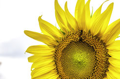 SunFlower1 Royalty Free Stock Photography