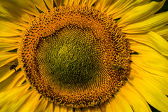 Sunflower closeup with bees. A sunflower in a field in France with bees Royalty Free Stock Images