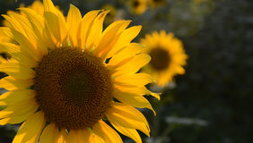 Sunflower closeup Royalty Free Stock Photo