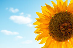 Sunflower closeup with blue clouds Stock Photography