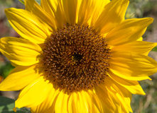 Sunflower closeup Stock Image