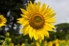 Sunflower closeup. Sunflower at a farm in India Stock Photography