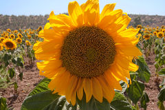 Sunflower closeup in the field Royalty Free Stock Photos