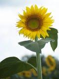 Sunflower. Closeup of a Sunflower in field Stock Photos
