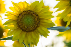 Sunflower closeup Stock Images