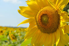 Sunflower closeup on a field. Background Royalty Free Stock Photos