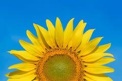 Sunflower closeup Royalty Free Stock Photography