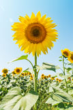 Sunflower closeup in field Stock Images