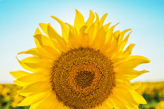 Sunflower closeup on field Stock Image