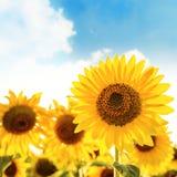 Sunflower closeup on field Stock Photography