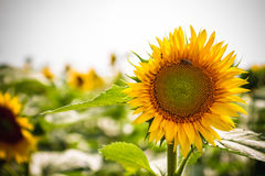 Sunflower closeup in a field Stock Photography