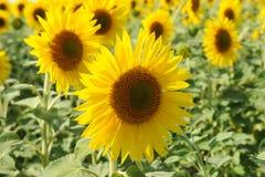 Sunflower closeup in a field Stock Photos