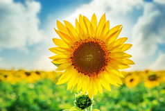 Sunflower closeup on field Royalty Free Stock Image