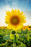 Sunflower closeup on field in sunset time Royalty Free Stock Photos