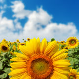 Sunflower closeup on field under blue sky Royalty Free Stock Photos
