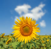 Sunflower closeup on field under clouds in blue sky Stock Photos