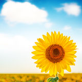 Sunflower closeup on field and white clouds in blue sky Royalty Free Stock Photography