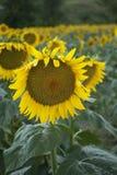 Sunflower. Closeup of a Sunflower in flield Stock Photos
