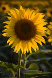 Sunflower closeup Royalty Free Stock Images