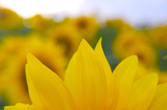 Sunflower closeup. Fully detailed closeup of sunflower Royalty Free Stock Photos