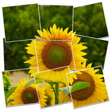 Sunflower closeup. Fully detailed closeup of sunflower Stock Image