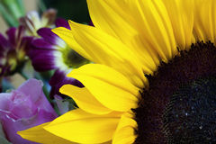 Sunflower closeup in the garden Stock Photography