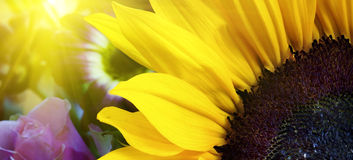 Sunflower closeup in landscape with sunshine Stock Photography