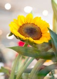 Sunflower closeup. With light blur background Royalty Free Stock Photos