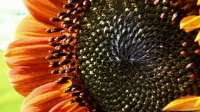 The sunflower stock video