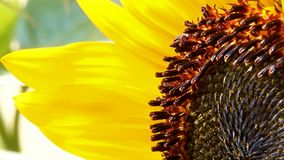 The sunflower stock video footage