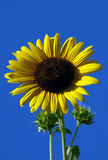 Sunflower closeup Royalty Free Stock Image