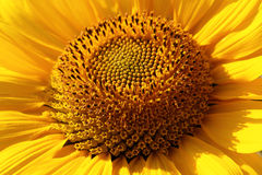 Sunflower closeup, petals, and the core royalty free stock image
