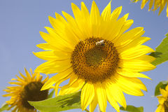 Sunflower. Closeup of sunflower plant with bee Royalty Free Stock Image