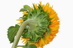 Sunflower closeup - rear view. Teddy bear sunflower isolated on white background - closeup rear view Royalty Free Stock Photos