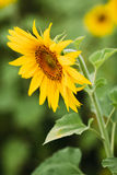 Sunflower. stock images