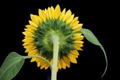 Sunflower closeup shot Royalty Free Stock Photo