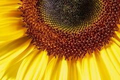 Sunflower closeup shot Stock Image