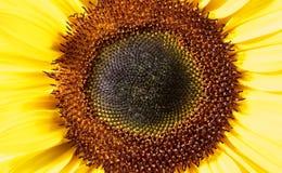 Sunflower closeup shot Stock Photo