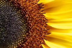 Sunflower closeup shot Stock Photos