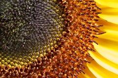 Sunflower closeup shot Royalty Free Stock Photography
