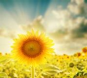 Sunflower closeup and sunset Stock Photo