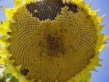 Sunflower closeup. Sunflower under the Sun light in farm field stock photos