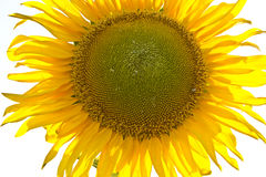 Sunflower. Closeup on a white background Royalty Free Stock Photos