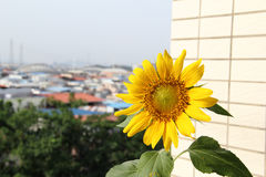 Sunflower. A closeup of yellow sunflower on a balcony, not full bloom Royalty Free Stock Photo