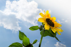 Sunflower with clouds Stock Photography