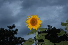 Sunflower and clouds Royalty Free Stock Image