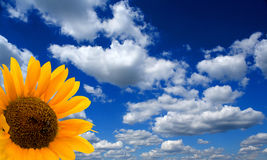 Sunflower and cloudscape. Blooming sunflower with blue sky and cloudscape in background Stock Photo